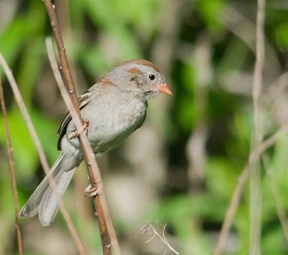 Field Sparrow 102