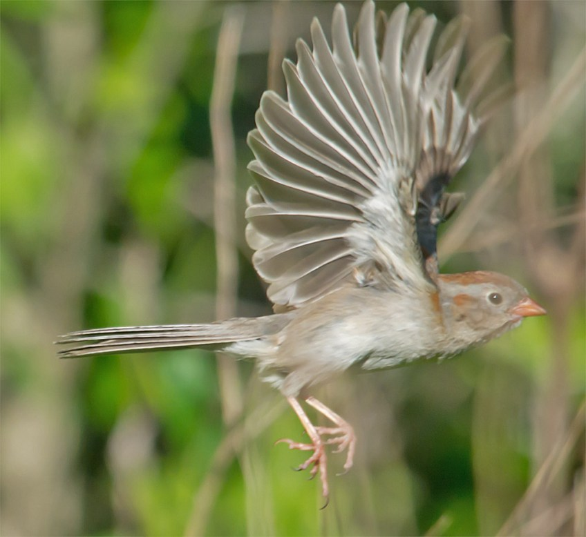 Field Sparrow 103