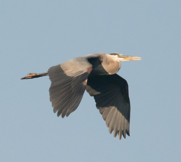 Great Blue Heron 306