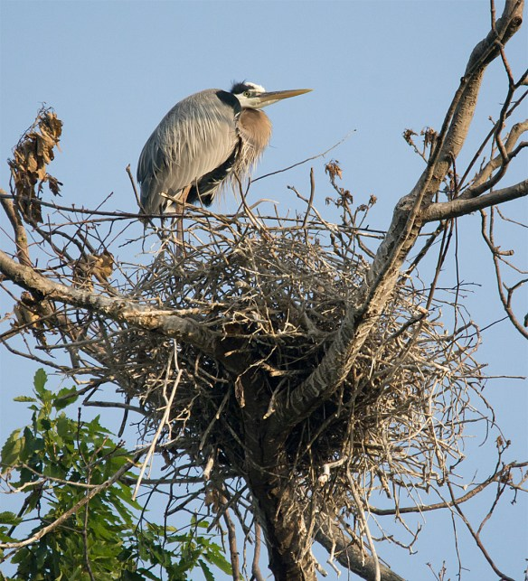 Great Blue Heron 312