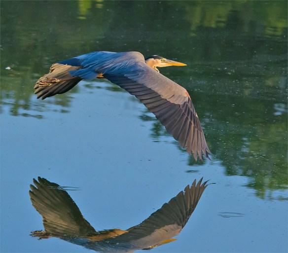 Great Blue Heron 318