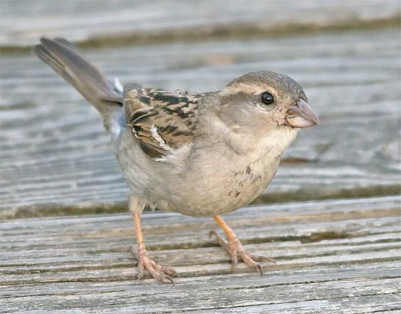 House Sparrow 103