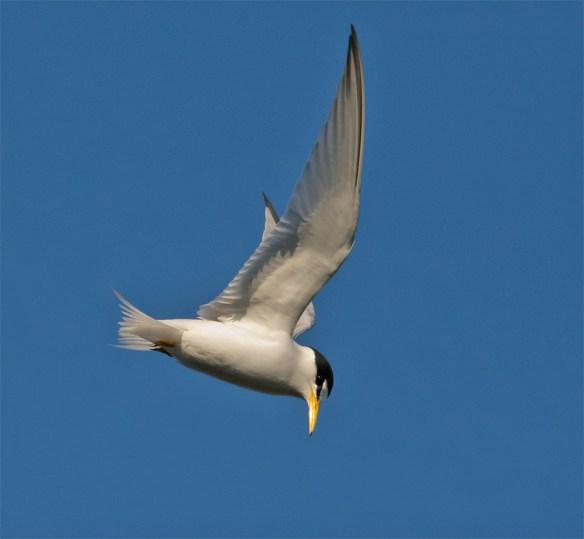 Least Tern 104