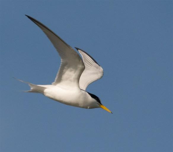 Least Tern 107