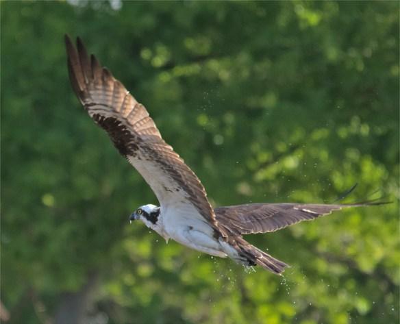 Osprey 329