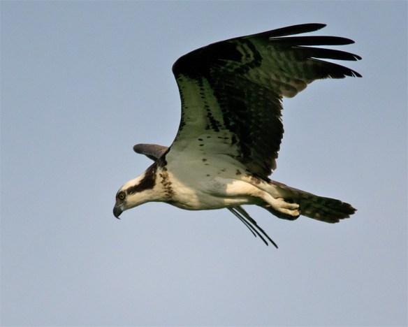 Osprey 332