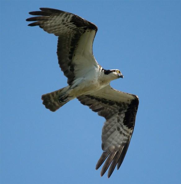 Osprey 336