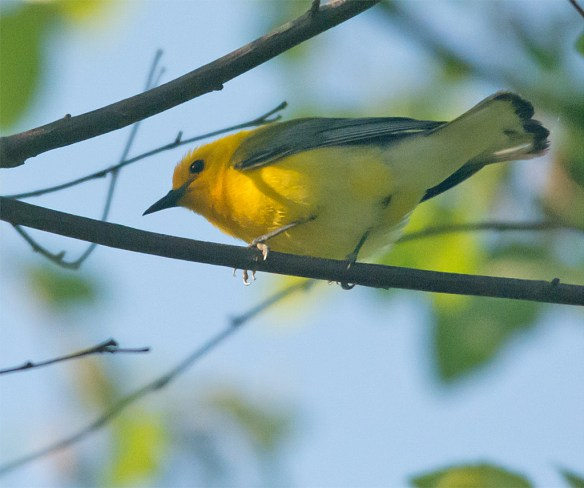 Prothonotary Warbler 139