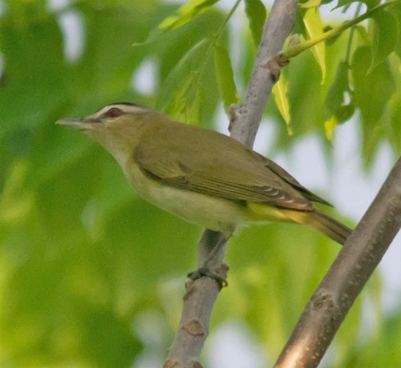 Red Eyed Vireo 300