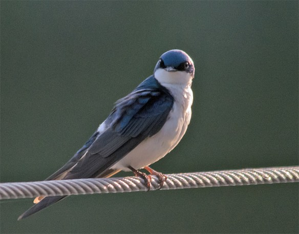 Tree Swallow 114