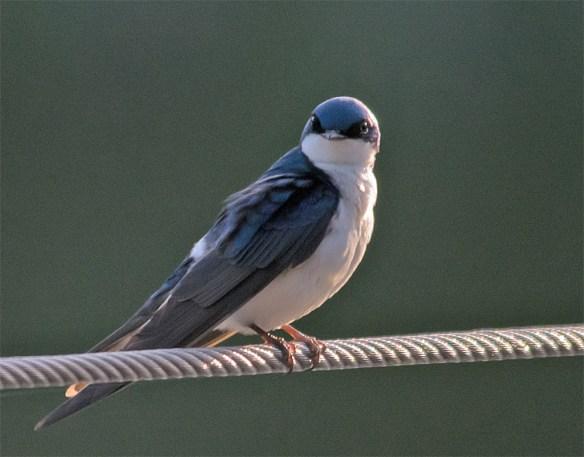 Tree Swallow 114