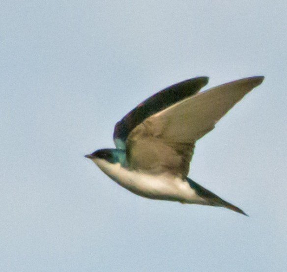 Tree Swallow 115