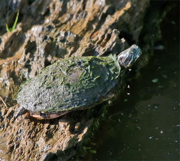 Turtle 40