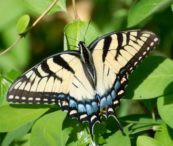 Western Tiger Swallowtail 100