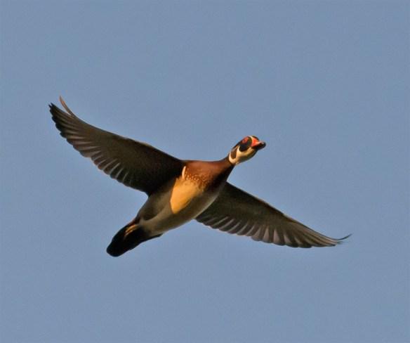 Wood Duck 256