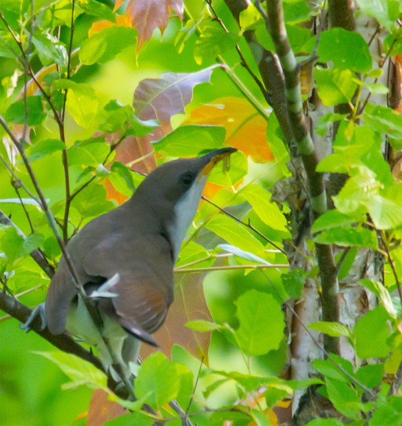 Yellow Billed Cuckoo 100