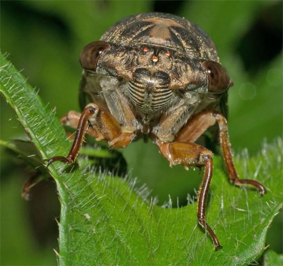 Cicada 4