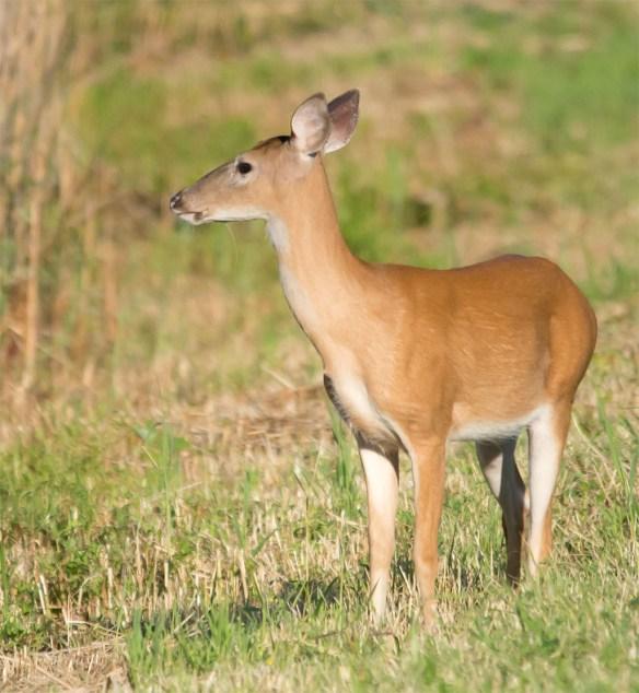Deer-52