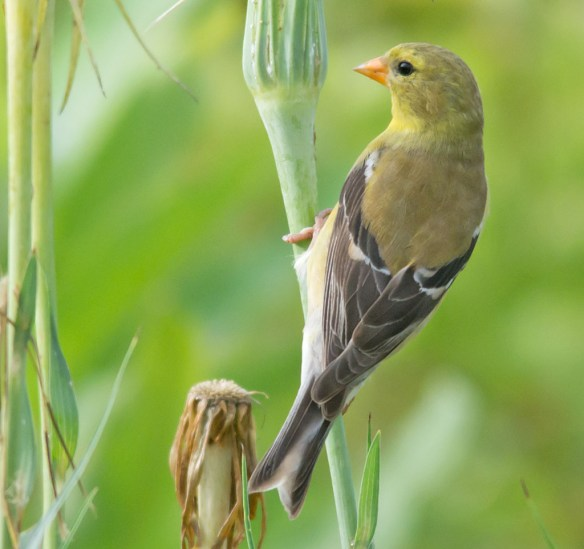 Goldfinch 212