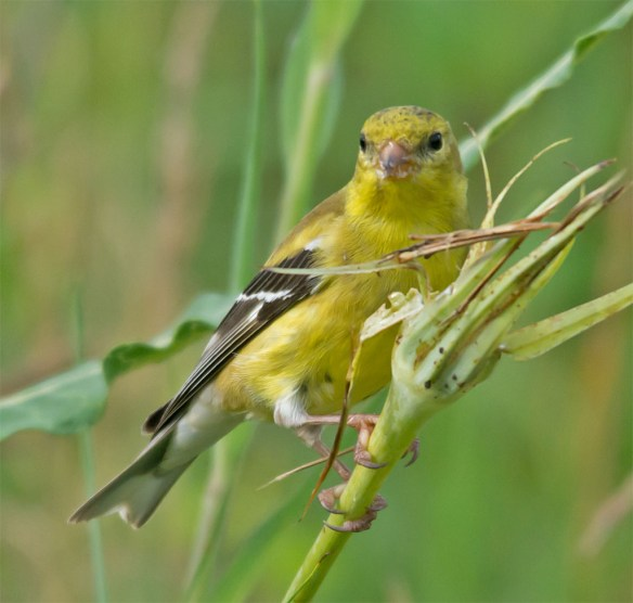 Goldfinch 214