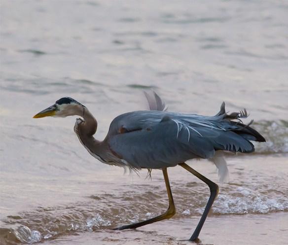 Great Blue Heron 320