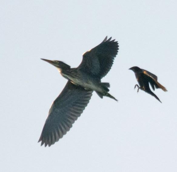 Green Heron 109