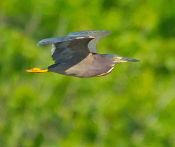 Green Heron 114