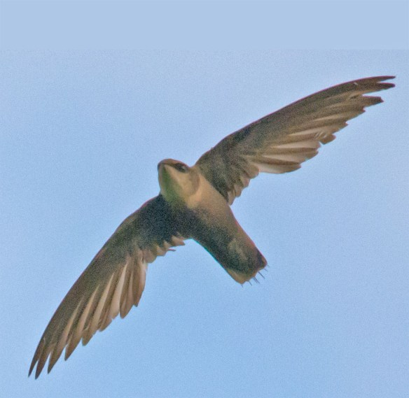 Northern Rough Winged Swallow 102