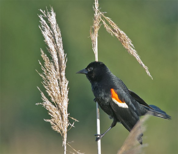 Red Winged Blackbird 111
