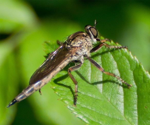 Robber Fly 17