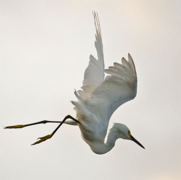 Snowy Egret 134
