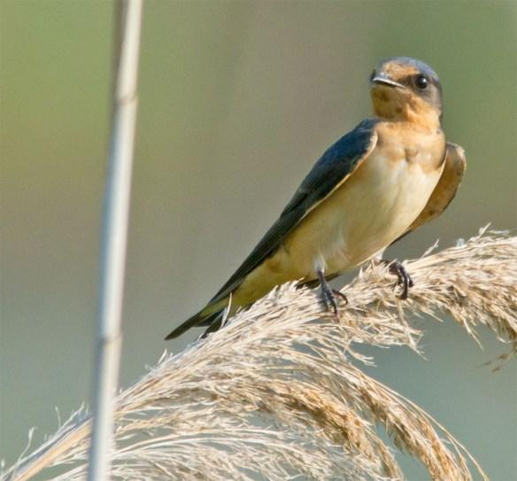 Barn Swallow 28