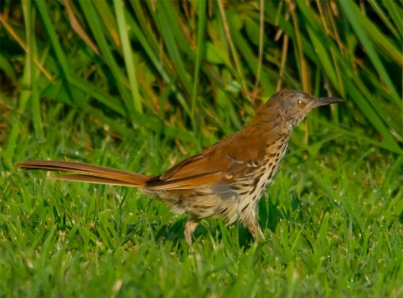 Brown Thrasher 105