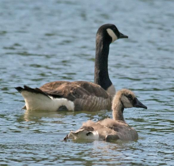 Canada Goose 122