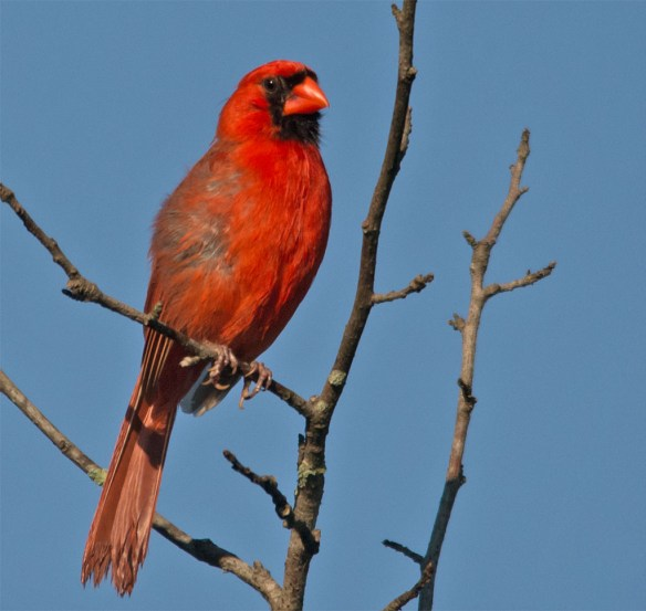 Cardinal 201