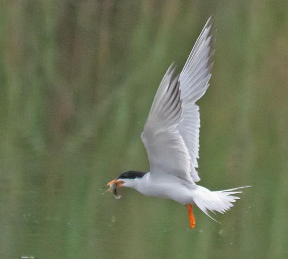 Caspian Tern 126