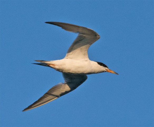 Common Tern 130