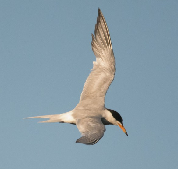 Common Tern 131