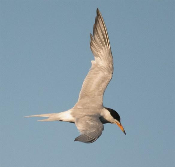 Common Tern 131