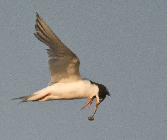 Common Tern 134