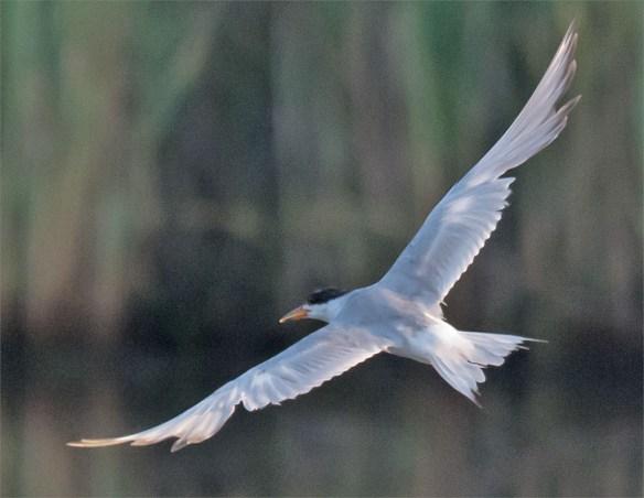 Common Tern 136