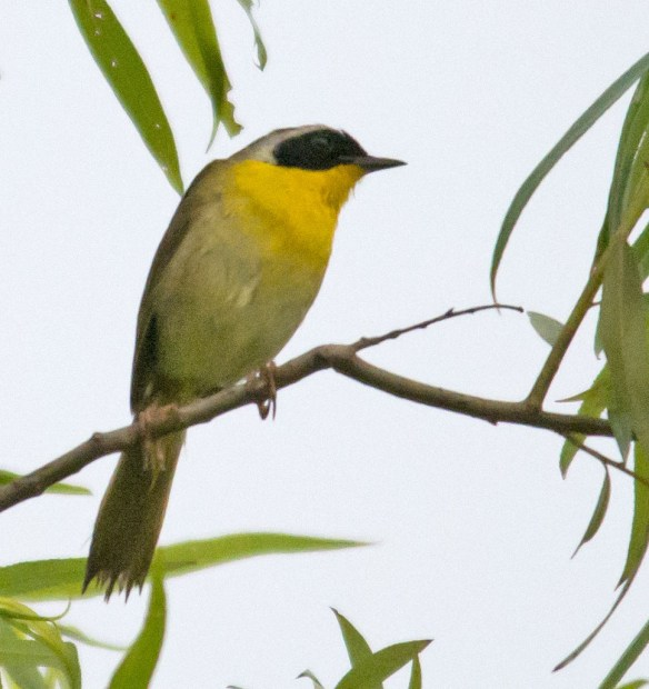 Common Yellowthroat 211