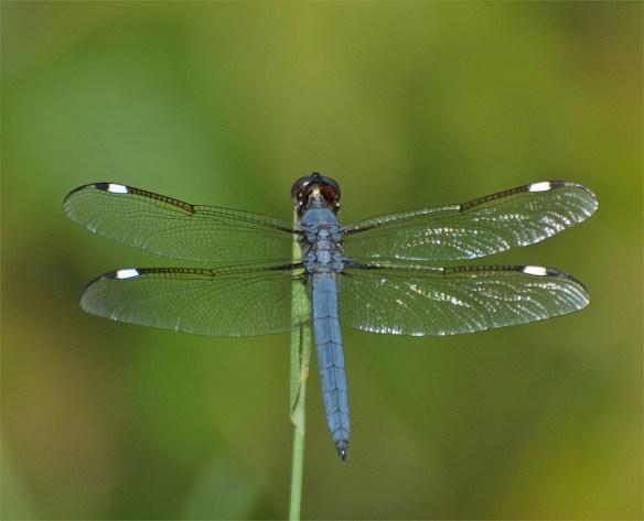 Dragonfly 62