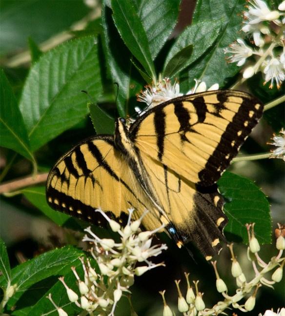 Eastern Tiger Swallowtail 56