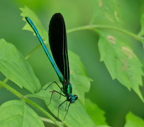 Ebony Jewelwing 3