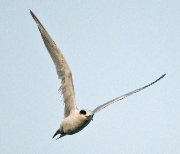 Forster's Tern 103