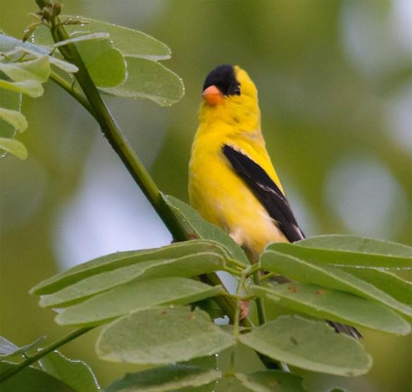 Goldfinch 221