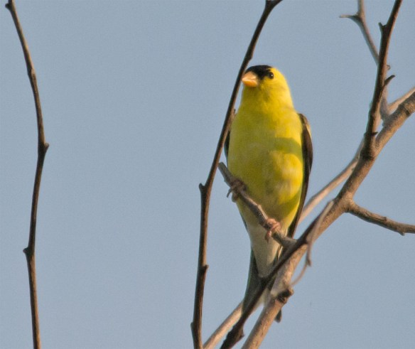 Goldfinch 222