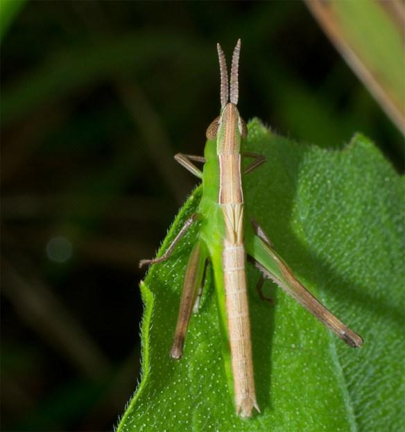 Grasshopper 202
