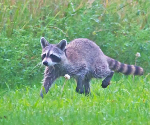 Raccoon 10